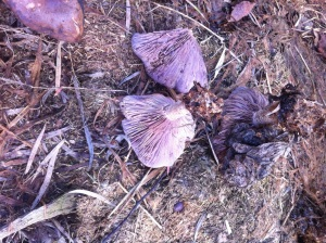 Clitocybe nuda in grass clippings.